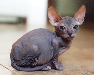 Kucing ini disebut dengan kucing sphinx karena wajahnya